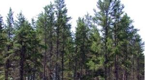 jack pine stand northern Minnesota