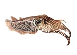 cuttlefish courtesy progressivehealth.com