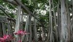 Banyan trees at Ford Edison Estate Florida