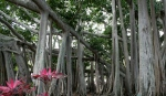 Banyan trees at Ford Edison Estate Florida