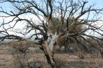 Fire damaged tree Hereford Arizona
