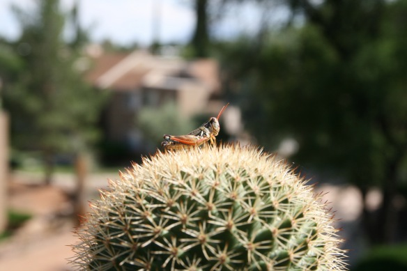 Grasshopper perched on top of cactus Sierra Vista AZ