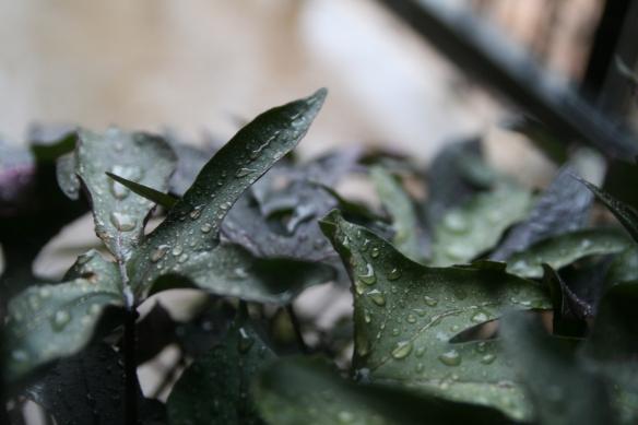Rainfall on potato vine